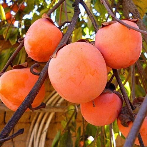 Persimmon Samen, KimcHisxXv 30 St¨¹cke Essbare K?stliche Obst Samen Garten Bonsai Yard Baum Pflanze Decor