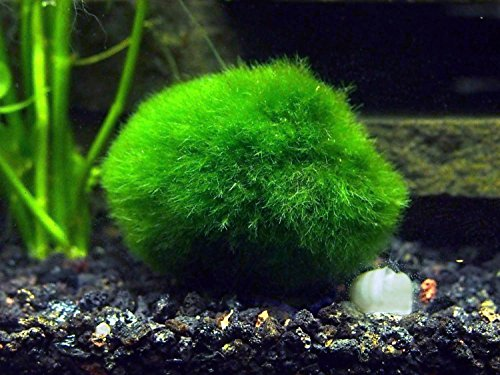Aquatic Arts 2 Giant Marimo Moss Balls (1.5-2.5 inches, 8-15 Years Old!) - Over 5X AS Large AS Nano MARIMO! - Great for Fish, Shrimp, and Snails! by Aquatic Arts