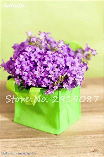 50 Pcs Campanula Graines rares Fleur Plante en pot Couleurs mélangées 95% Taux de bourgeonnement vivaces Plantes Bonsai Maison et Jardin 3