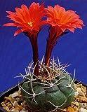Tropica - Kakteen - Peruanischer Zwergkaktus (Submatucana madisoniorum) - 40 Samen