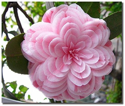 5 graines de camélia, plantes en pot, bricolage Maison & Jardin Rich Fleur vivace Bonsai Fleur