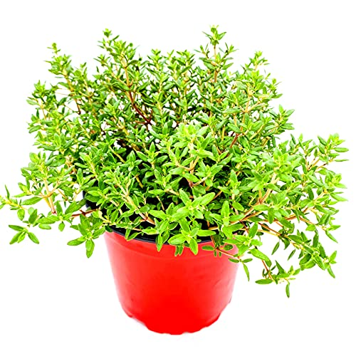Thymian Pflanze, Thymus vulgaris Kräuter Pflanzen 3stk.