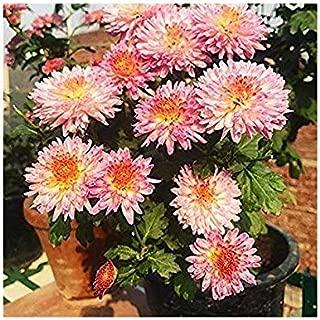 Famous Garden Live Guldavari/Chrysanthemum Pink Flower Plant With Pot -Outdoor Plant