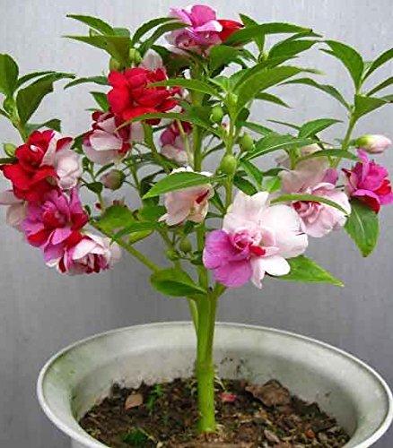 (Coloré * Ambizu *) coloré E58 Balsamine Graines de fleurs Fleur Finger Balcon Fleur Bonsai à base de plantes semences - 20 graines