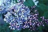 RWS 30pcs púrpura fragante semillas de arbustos lila Syringa vulgaris semillas de flores