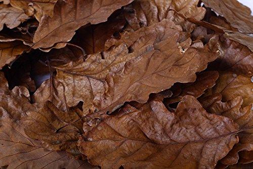 Eichen Laubblätter (braun), 100 Blätter - Garnelen- Wasserschnecken und Krebsfutter
