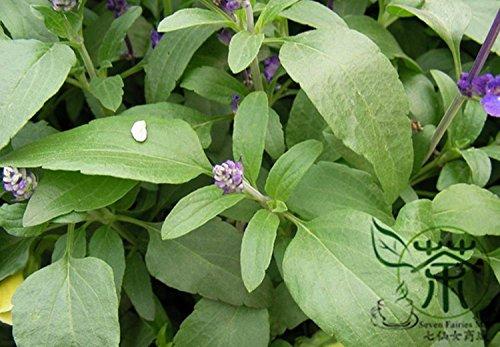 Labiatae Plante Salvia Japonica Graines 100pcs, Naturally Seeds Herb Aromatique Fleur Plante, très populaire Graines Shu Wei Cao carnosique