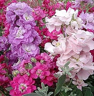 150 matthiola incana Seeds Gillyflower Garden Stock Fragrant Flower Mixed Colors