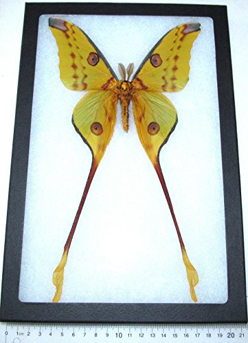 BicBugs Real Framed Comet Luna Moth ARGEMA MITTREI Male Indonesia