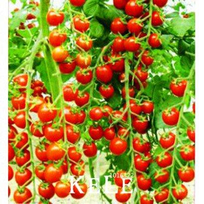 Les meilleures ventes de légumes fruits et graines skgs de tomates rouges tomates cerises graines balcon tomate bonsaï - 100 graines, # TTKYAS
