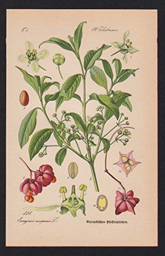 Spindelstrauch spindle Lithographie Kräuter Heilkräuter herbs herbal