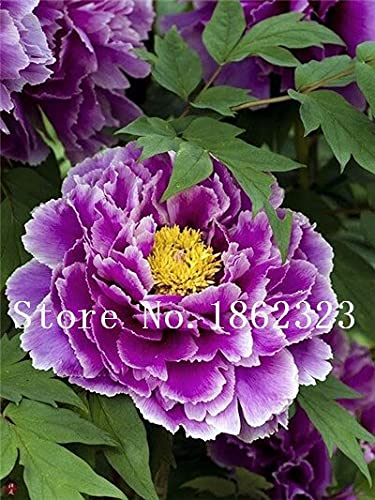 Tomeco 10 pcs Mixed Color Peony Seed Chinese Rose Tree Peony Flower Potted Plant Decoration Seed Flower Plant for Home Garden - (Color: 9)