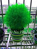200 pcs Kochia Grass Plants Perennial Grass Burning Bush Kochia Scoparia Seed Easy to Grow Seed Garden Ornamental Planta - (Color: 7)