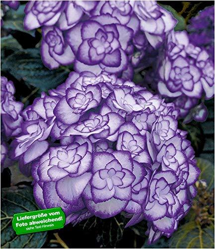 BALDUR Garten Winterharte Freiland-Hortensie Miss Saori Blue® 1 Pflanze Hydrangea