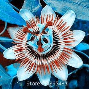 Fleur de la passion (Passiflora incarnata), 100pcs / sac semences en direct certifié Pure plante Native Seed True pour la maison et le jardin 7