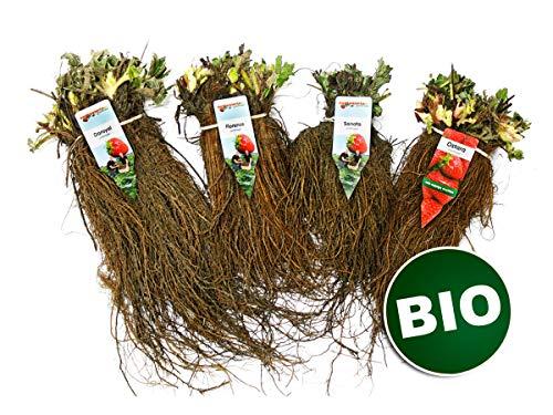 Bio Erdbeerpflanzen Anbau-Set: 40 biologische Erdbeerpflanzen inkl. Dünger - Sorten: Rumba, Elsanta, Salsa, Malwina - Frigo-Erdbeeren von Erdbeerprofi.de