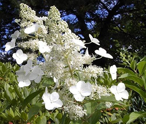 Rispenhortensie Kyushu - Hydrangea paniculata Kyushu - duftend