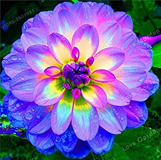 hot Sale 2 Bulb Purple Dahlia Bulbs Beautiful Perennial Dahlia Flower Bulbs