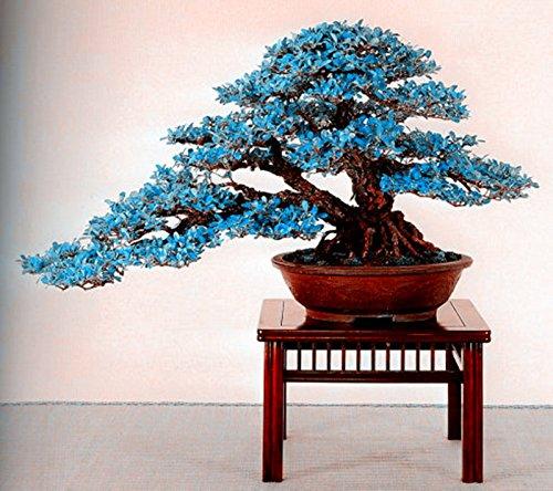 Grosses soldes! 20 pcs rare graines d'arbres érable bleu graines d'arbres bonsaï plantes vivaces ligneuses bricolage pour la livraison gratuite de jardin à la maison 1