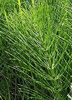 Horsetail Grass - Puzzlegrass - Healthy Established Roots - 12-18