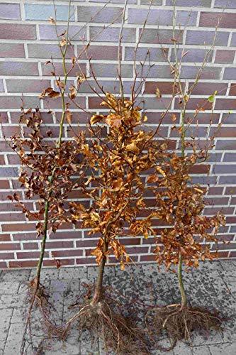 25st. Rotbuchen 40-60cm Gartenhecke Heckenpflanzen Fagus sylvatica Rotbuche Wurzelware