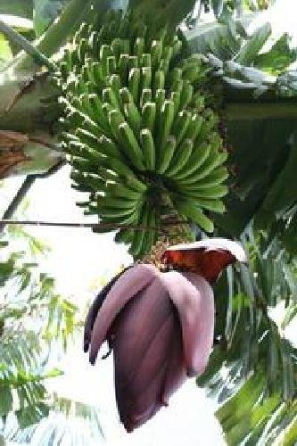Musa X Paradisiaca,your real delicious banana tree for garden or inside, 10 graines
