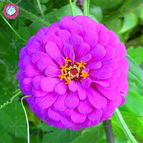 Véritable Zinnia elegans 50pcs Véritable fleur Bonsai Graines vivaces Facile Pour Cultivating balcon plantiation Garden Courtyard Potted 2