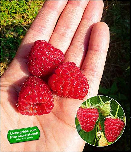 BALDUR-Garten Himbeere Enrosadira® Endlosernte,1 Pflanze, winterhart, Dauerernte