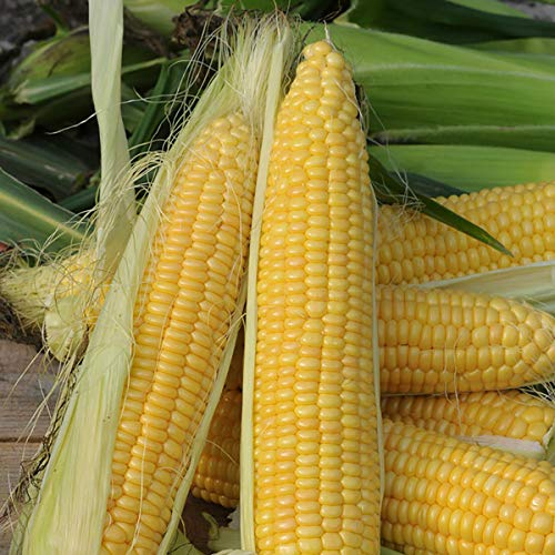 De Bolster Zuckermais \'Golden Bantam\' | Bio-Samen | Bio-Saatgut | für 5m²