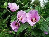 Garten Eibisch Hibiscus syriacus 100 Samen
