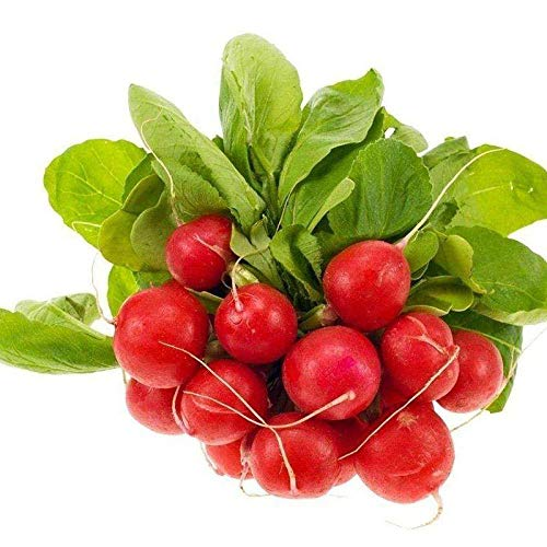 Four Seasons Seed Gemüsesamen Topfgemüsesamen Dutch Red Star Cherry Radish Seeds 500G