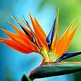 Kisshes Giardino - 50 Pezzi Sud Africa Strelitzia Flower Seeds (Strelitzia Reginae) Colorful Bird of Paradise Flower Pianta da appartamento Orchid Seed