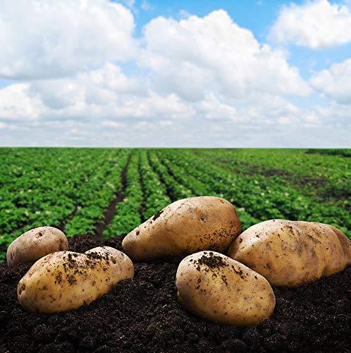 SEED POTATOES - 5 lb Yukon Gold Organic Grown Non GMO Virus & Chemical...