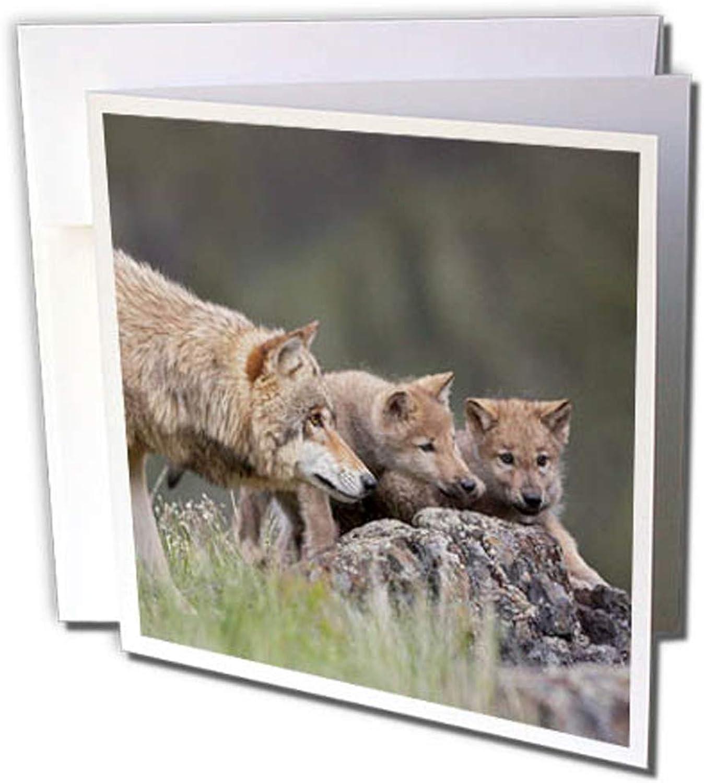 3dRosa gc_259645_2 Grußkarte Grauer Wolf mit Welpen, Canis Lupus, Montana , 12 Stück B0764L2BY5 | Billiger als der Preis