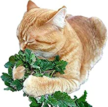 100+ ORGANICALLY Grown Catnip Catmint Seeds Herb Heirloom Non-GMO Fragrant Rare! from USA