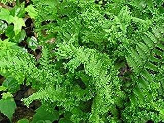Shop Meeko Dryopteris filix-mas crispa - Male - 3 s en 9 cm Potsplant