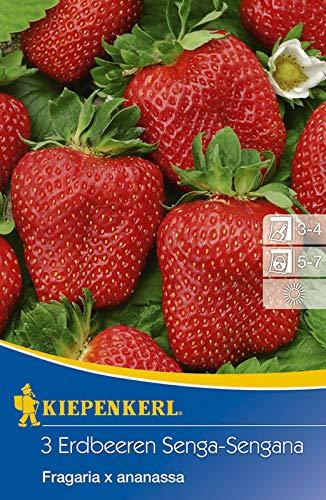 Kiepenkerl 737082 Erdbeere Senga-Sengana (3 Stück) (Erdbeerpflanzen)