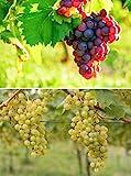 2er Set Weintrauben Pflanzen rosa und hell Vitis Weinrebe winterhart Wein knackig süß