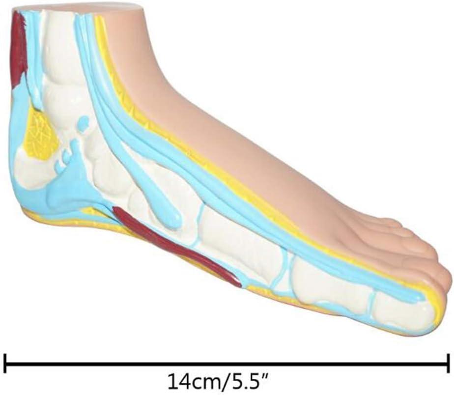 Educatieve poppen Anatomisch voetmodel Levensgroot kindvoetmodel Voetstructuur Anatomisch weergavemodel Skeletvoetmodel A