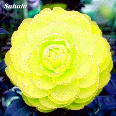 Grosses soldes! 10 Pcs Camellia Graines, Graines Bonsai Fleur, couleur rare, bonsaïs d'intérieur / extérieur Plante en pot pour jardin Facile à cultiver 21