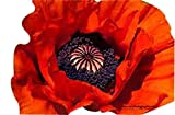 10,000 Red Oriental Poppy Seeds - Perennial