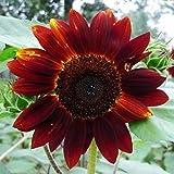 Flores Paisaje para cercas,Semillas de Flores perennes,Semillas de Girasol, balcón al Aire Libre en Maceta-C_500 Grano