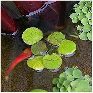 (ビオトープ)水辺植物 ドワーフフロッグビット(無農薬)(10株) 北海道航空便要保温 (休眠株)