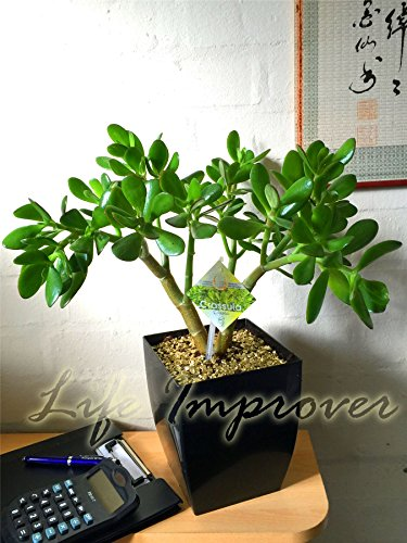 1Evergreen Pflanze @ Tisch Hochglanz schwarz MILANO quadratisch Topf - Jade Plant
