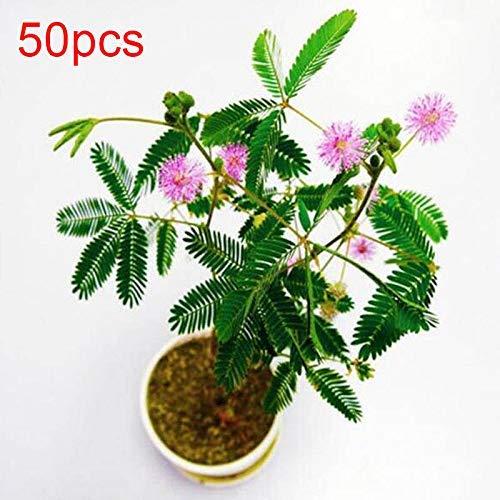 20 Samen Schüchterne Gras Samen Mimosa Sinnpflanze Sensitive Blätter Bonsai