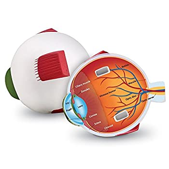 Learning Resources Cross-Section Human Eye Model Biology Scientific Vocabulary Classroom Accessories Measures 5″ in diameter Grades 2+ Ages 7+