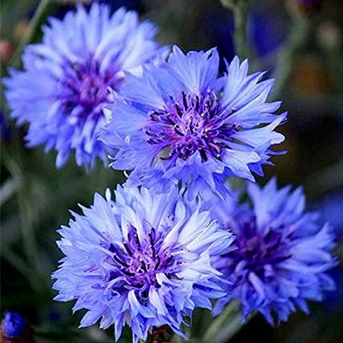 200 Stuks Blauwe Korenbloem Zaden Edele Elegante Bloemen Vertegenwoordigen Ontmoeting En Geluk Geschikt Om In Huistuinen…