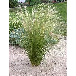 1 x Stipa Tenissima 'Pony Tails » 1 litre (herbe d'ornement/herbes/arbustes) herbe à plumes par pièce.