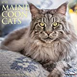 Just Maine Coon Cats 2022 Wall Calendar