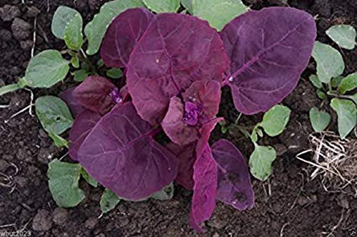 Heirloom Purple Orach 200 Seeds Mountain French Spinach Giant Lambsquarters